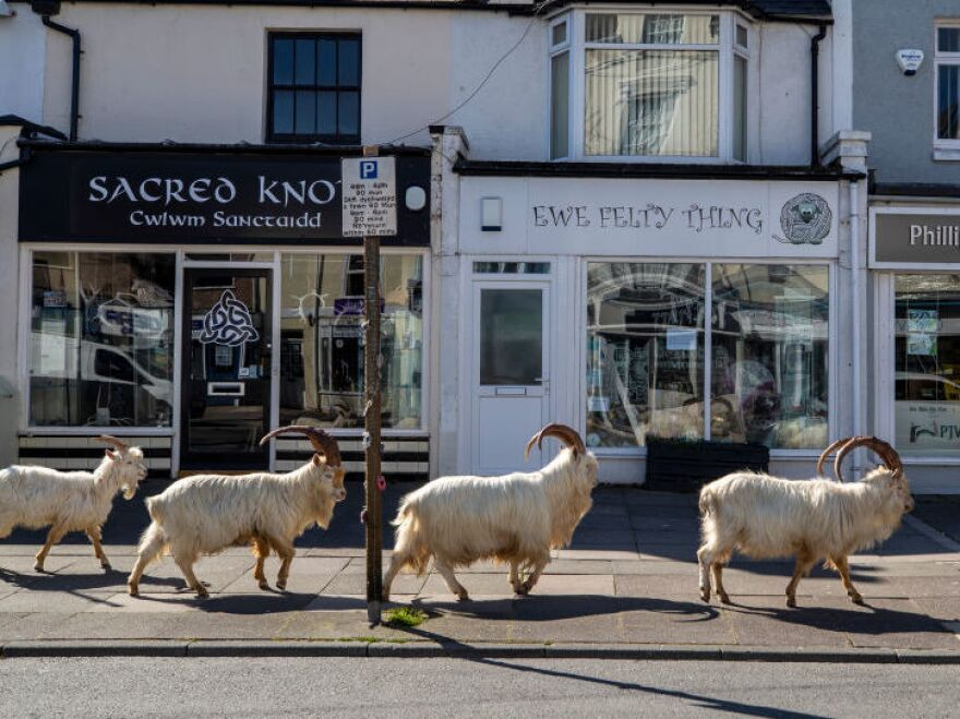 The goats check out a knitting store called Ewe Felty Thing in Llandudno, Wales. (Really, we couldn't make this up if we tried.)