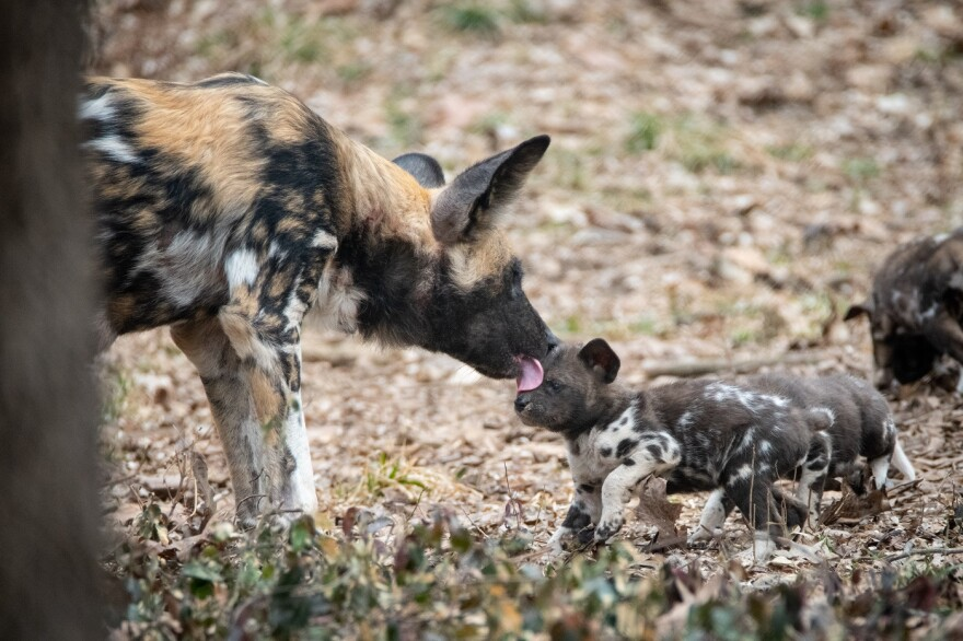 An African painted dog tends to a litter of pups born at the Endangered Wolf Center.