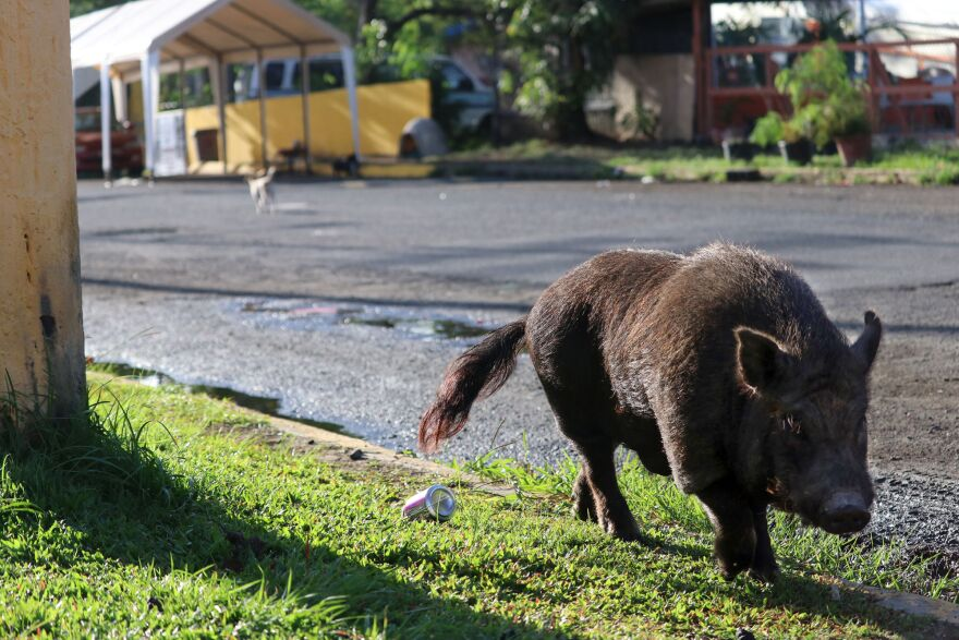 Abandoned after the storm, pigs roam the streets of a San Juan neighborhood.