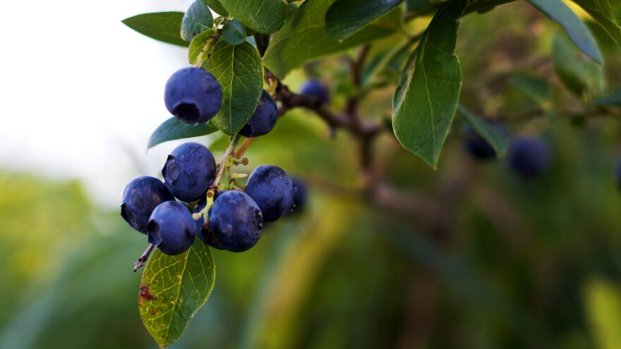 It's unclear exactly how the new law will change enforcement of wage and hour laws on farms. Meanwhile, a blueberry labor dispute in Oregon grinds on in federal court.