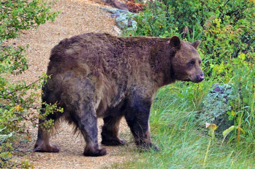 black-bear-tim-nicholson.jpg