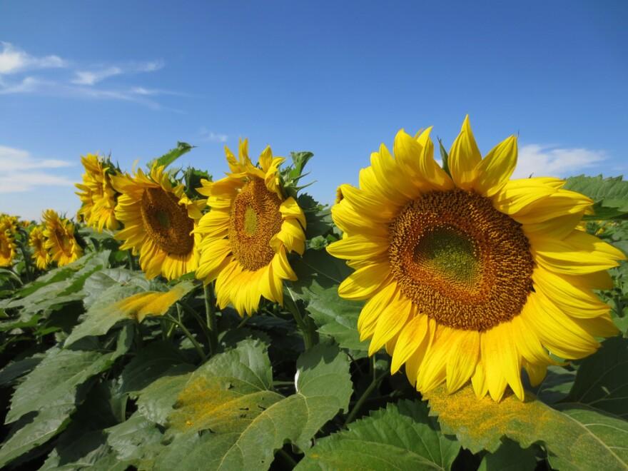 0819_efficient-irrigation-sunflowers.jpg