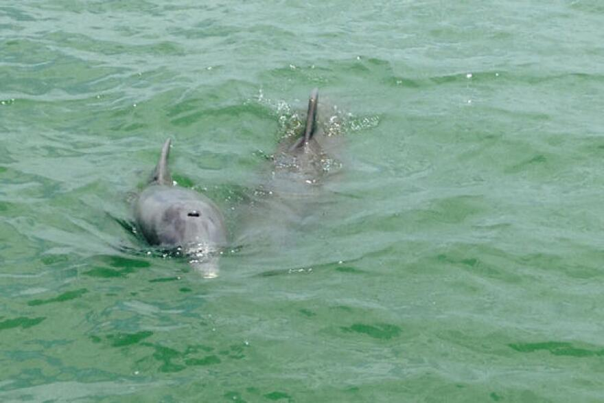 "There are three certified ""Dolphin SMART"" tours in Lee County: Banana Bay Tour Company, Tarpon Bay Explorers and Captain Brian's Observations on the Water."