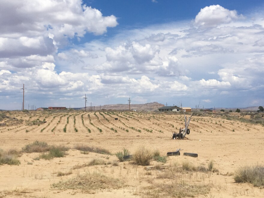 The summer landscape in Arizona looks pretty barren, except for an occasional corn field like this one. But the plants are still small due to scant monsoon rains this year. It will take weeks before the ears are ripe for harvest.