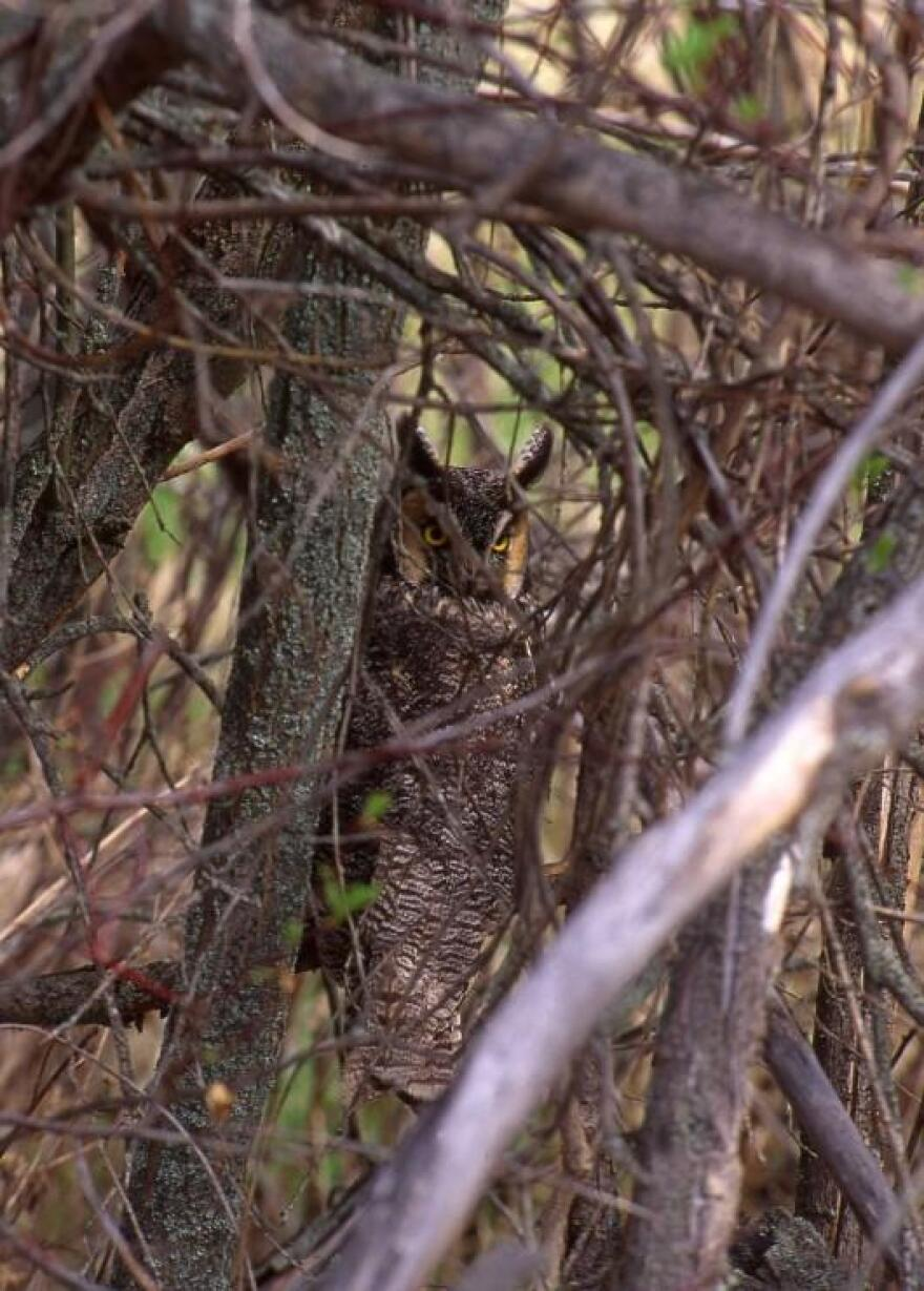A long-eared owl hiding in the trees.