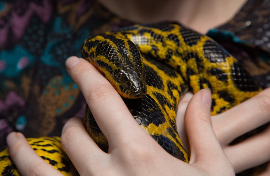 A yellow anaconda is held with two hands close to a woman's chest. Its head rests on the woman's finger.