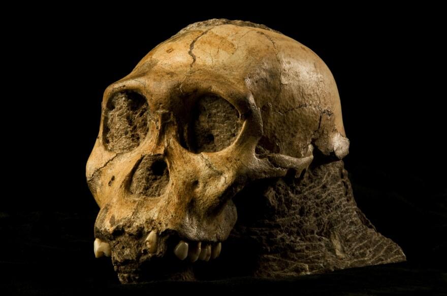 au_sedbia_skull_in_rock_-_credit_brett_eloff_wits_university.jpg