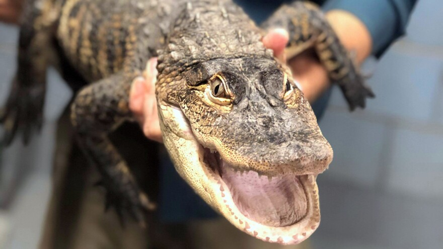 An alligator that eluded capture for a week in a Chicago park is now in custody, officials announced Tuesday. The gator is seen here in an image provided by Chicago Animal Care and Control.