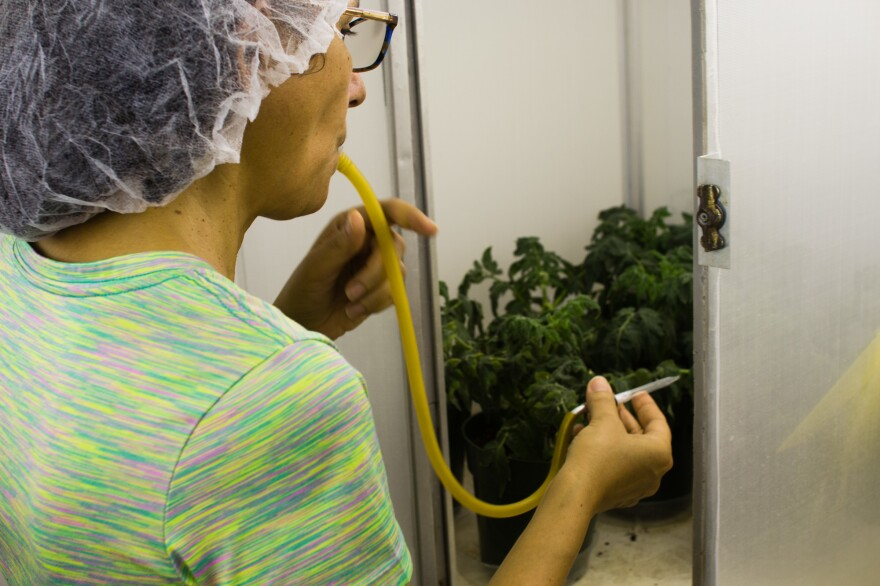 Alba Nava uses an aspirator to gather virus-carrying whiteflies that have been feeding on tomato plants at the University of Florida.