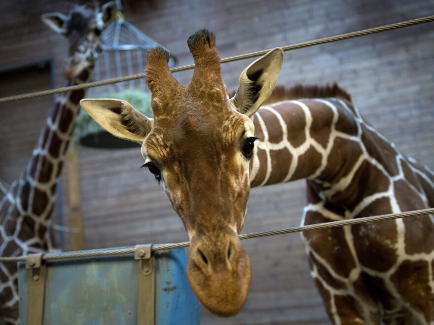 Copenhagen Zoo's giraffe Marius was put down Sunday by zoo authorities who said it was their duty to avoid inbreeding.