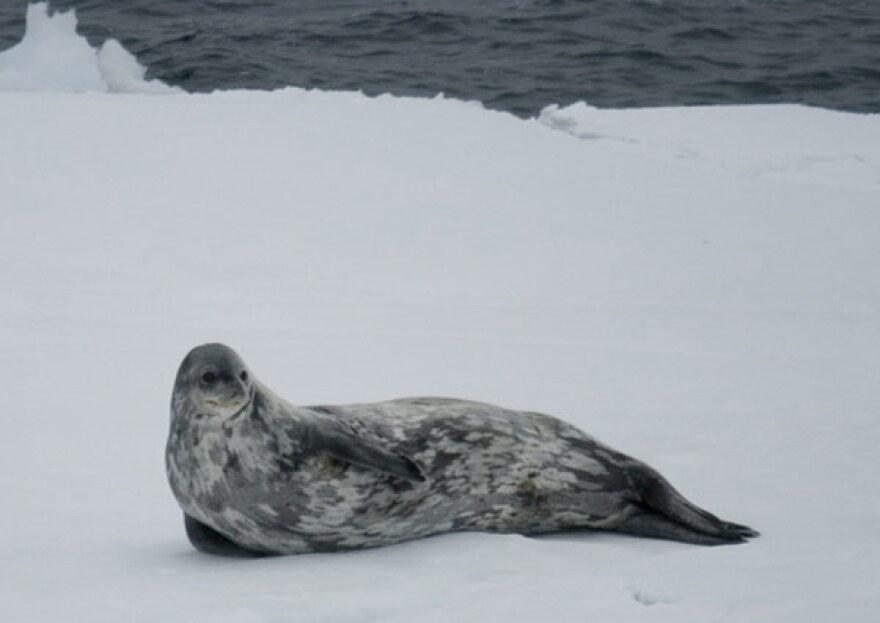 seal_antarctica.jpg