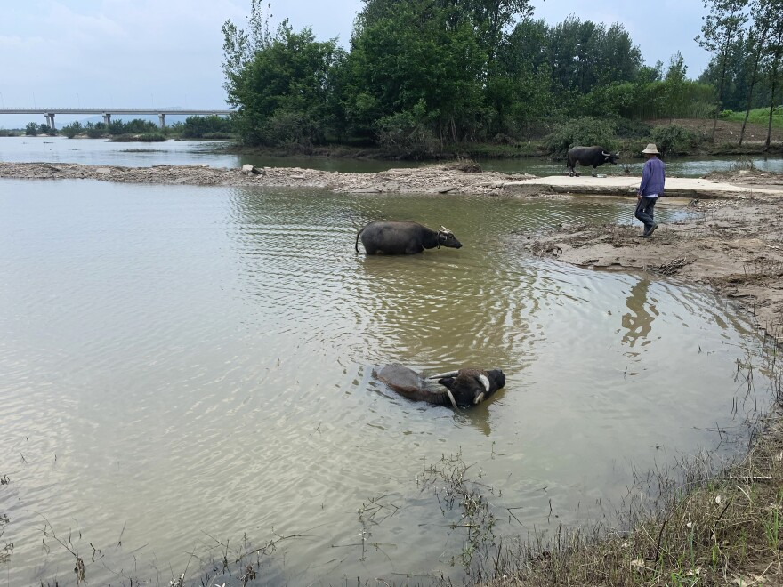Farmer Ma Youxi herds his water buffaloes into the water. During the flooding last month, Ma says the dry land on which he stood was completely submerged.