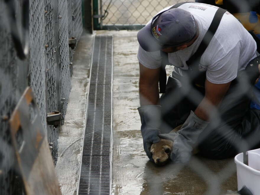 When pups can't eat on their own, volunteers hold the sea lions down and tube feed them a puree of raw fish, electrolytes, vitamins and protein.
