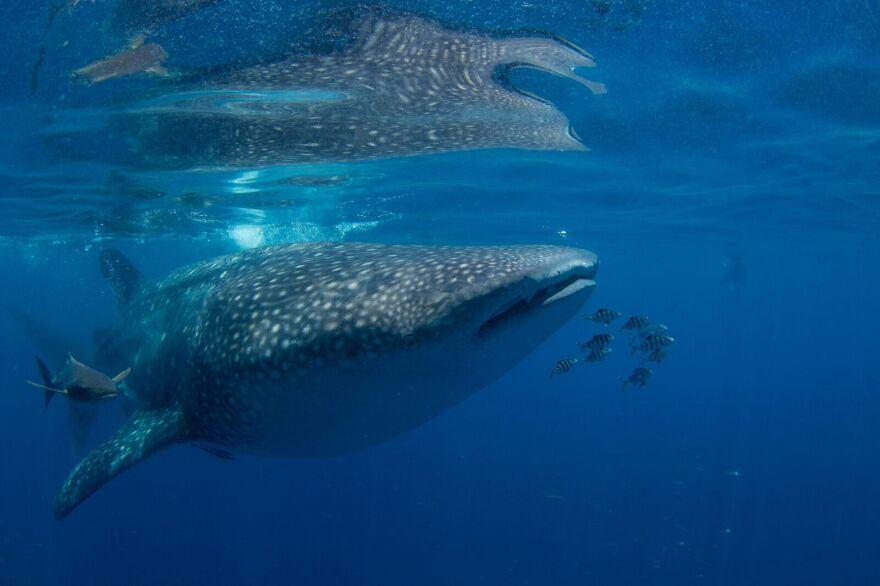 whale_shark.jpeg
