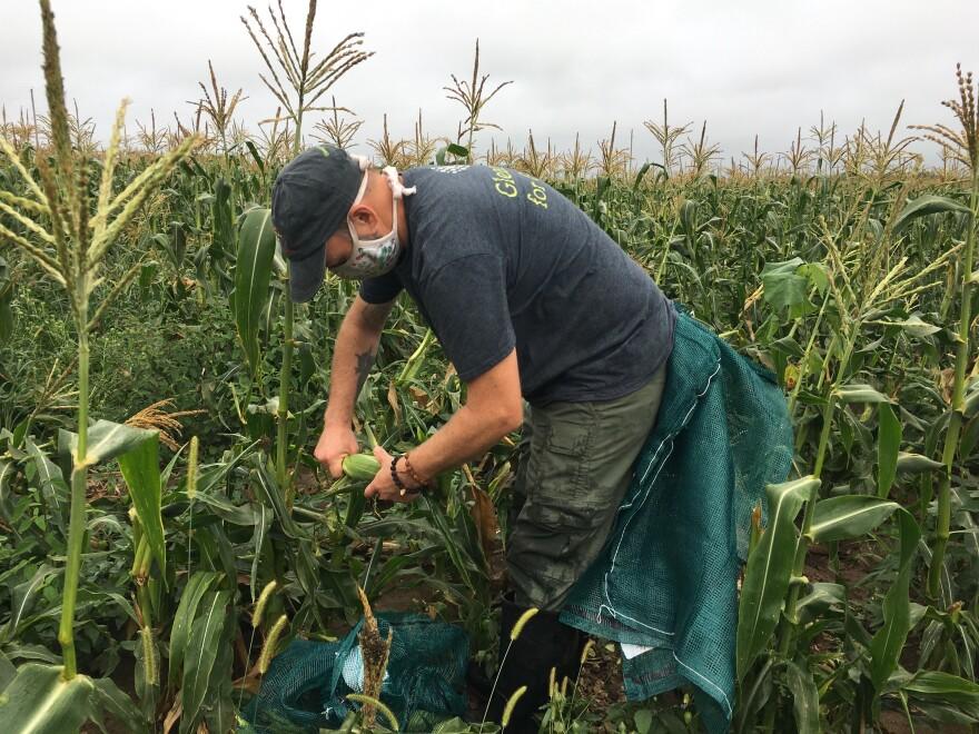 072820_SH_Clay Jarratt gleaning corn