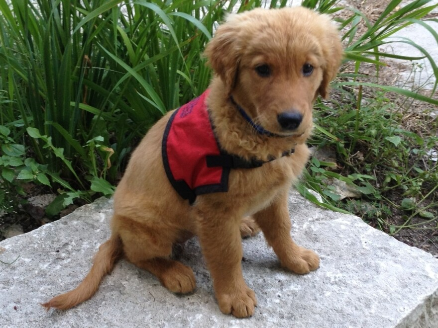 """Eleven-week-old 11-week-old Bretagne is beginning her training as a detection dog at the Penn Vet Working Dog Center, which opens Tuesday. <a href=""""http://nprfreshair.tumblr.com/post/31346680998/working-dogs-saving-lives-and-giving-interviews"""">Click here to see photos of Bretagne at the mic during her <em>Fresh Air</em> interview.</a>"""