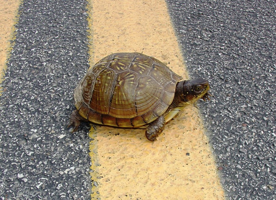 three-toed_box_turtle_rd__jtb1362.jpg