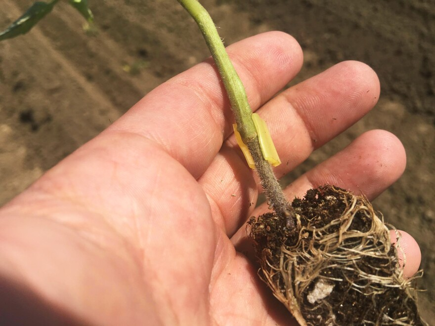 Scott Stoddard hopes that each of these little tomato plants will yield enough to make up the cost difference of grafting.