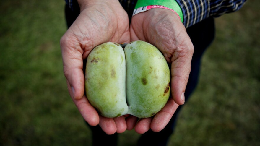 Pawpaws may look like mangoes, but unlike other tropical fruits, they are native to North America.