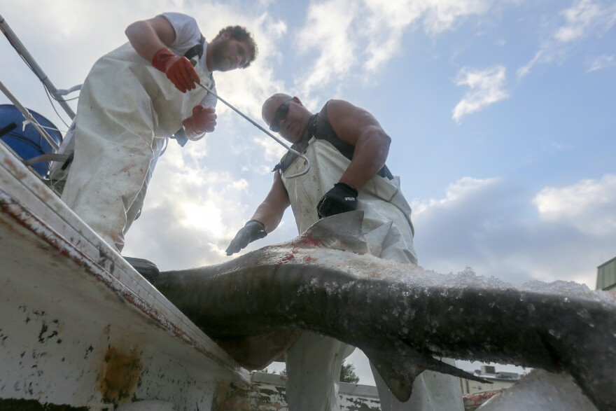 Men removing a fin from a shark