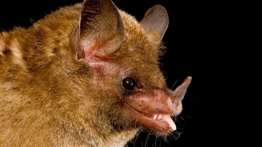 The Pallas' long-tongued bat.