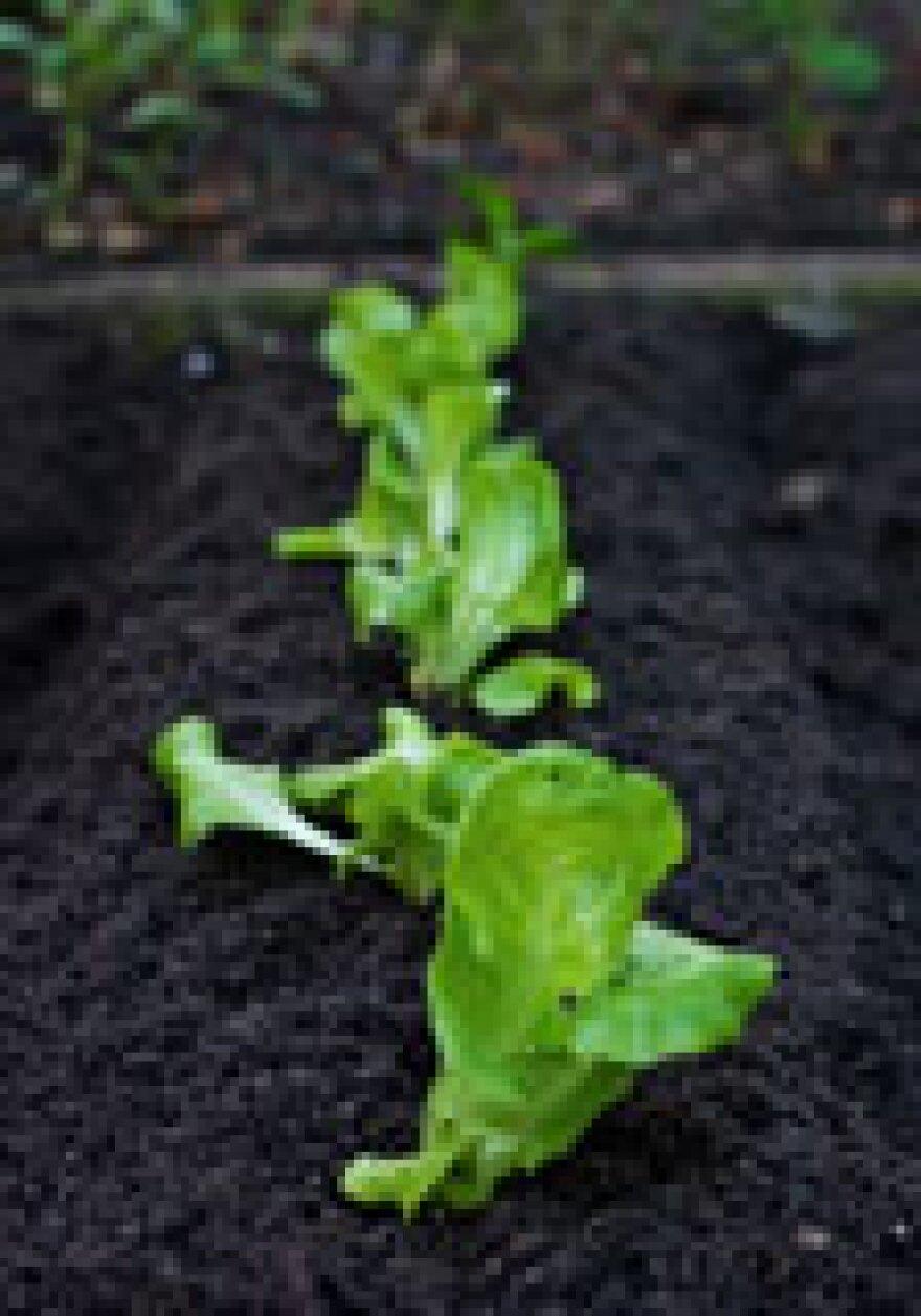 veggie_garden.jpg