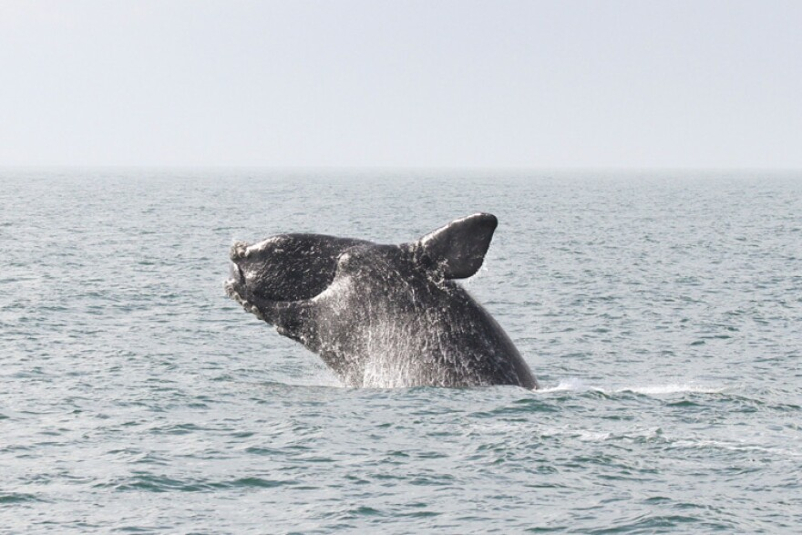 A right whale emerging from the water.