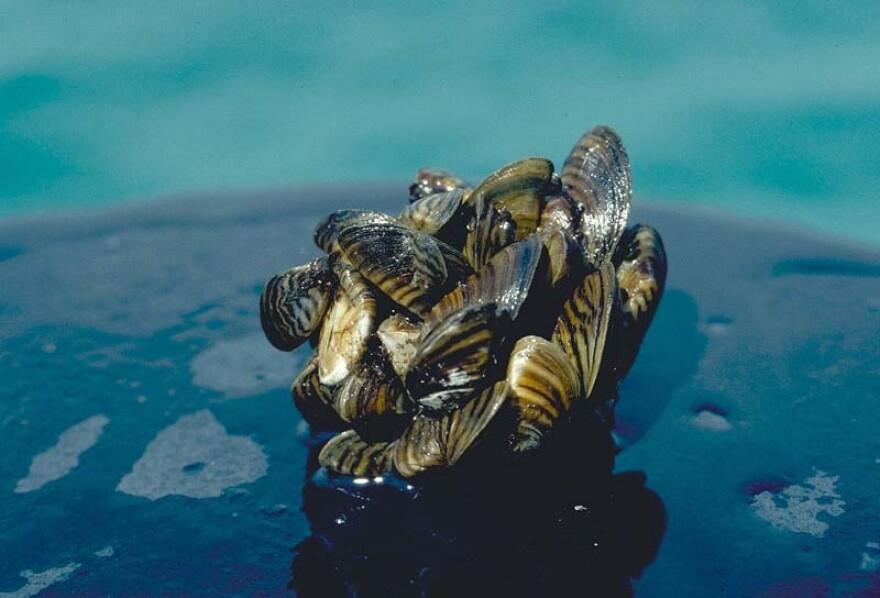 Zebra_mussel_GLERL_2.jpg