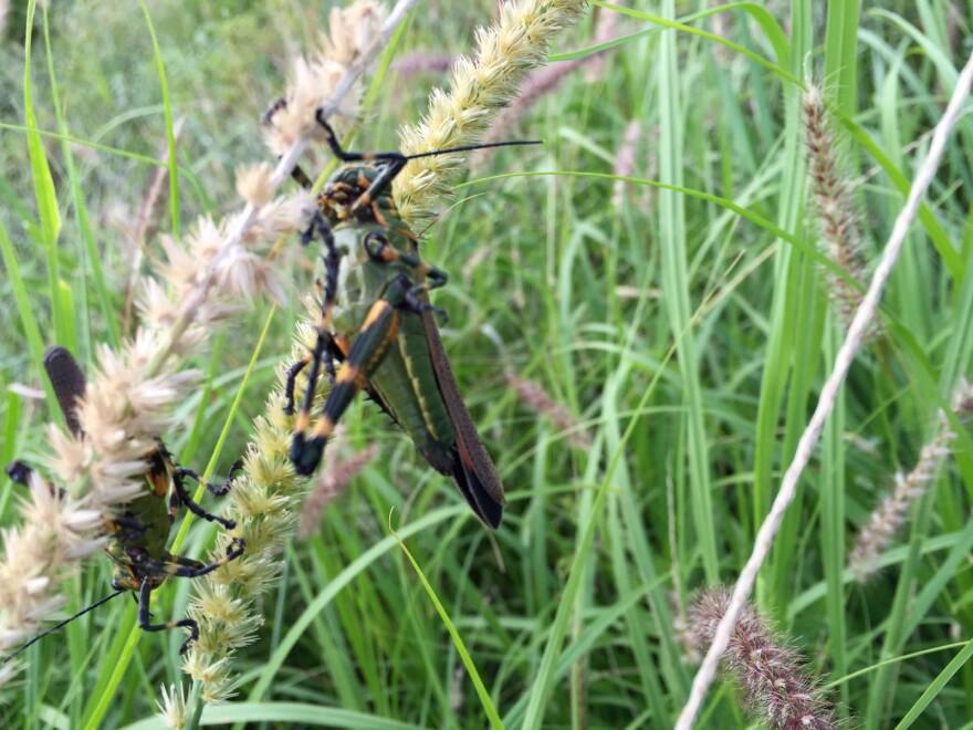 021216_Locusts_bug1.jpg