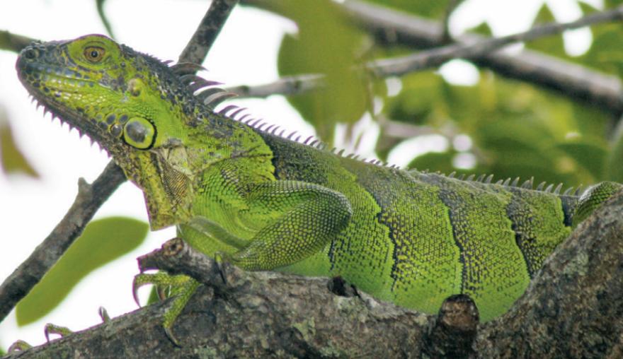 Young female green iguana
