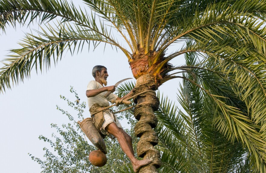 To collect sap from a date palm tree, a man peels bark at the top of the tree and attaches a pot to collect the liquid.