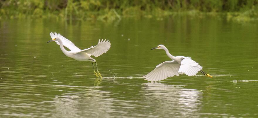flying_courtesy_rob_michaelson__mitchell_lake_audubon_center.jpg