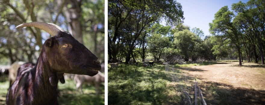 Legacy Ranching says it is swamped with calls for the goats. Fencing directs the goats and sheep from an area that has already been eaten to a grove of trees full of fuel.