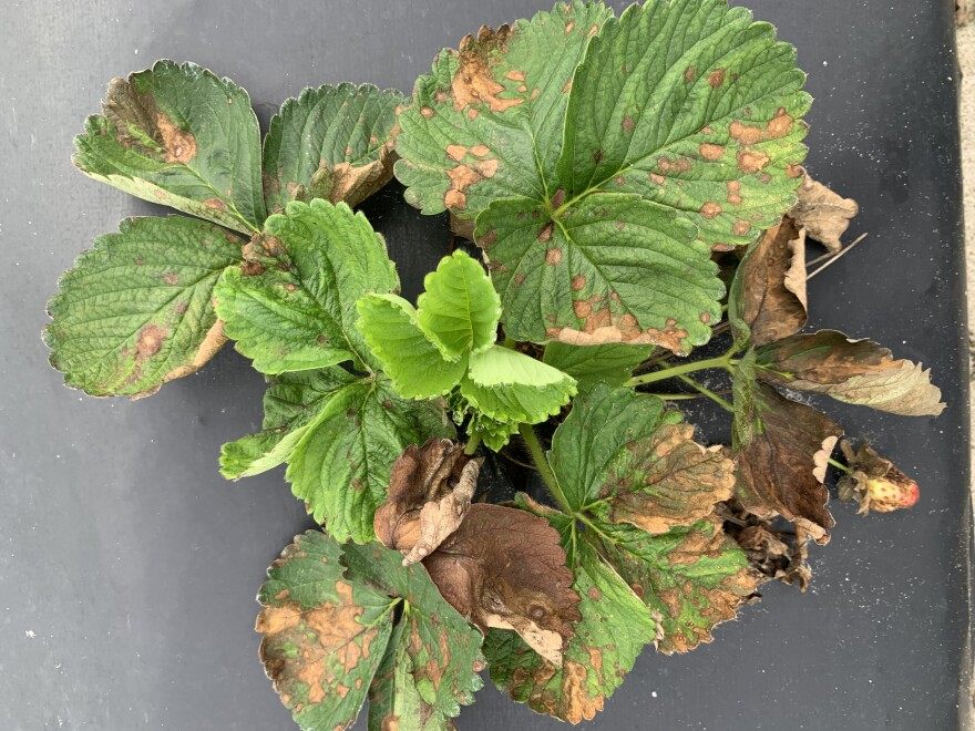Green strawberry foliage overtaken by brown fungus.