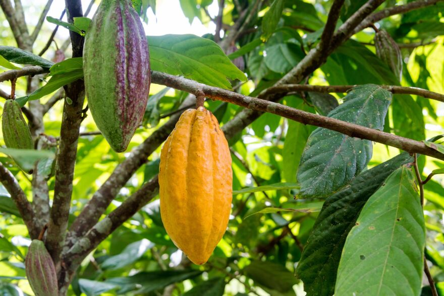 Ag tech firm Benson Hill and Mars Inc. team up to save chocolate production by breeding stronger variety of cacao trees.