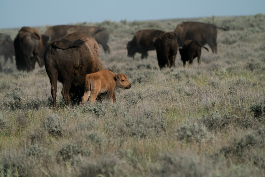 Photo of bison.
