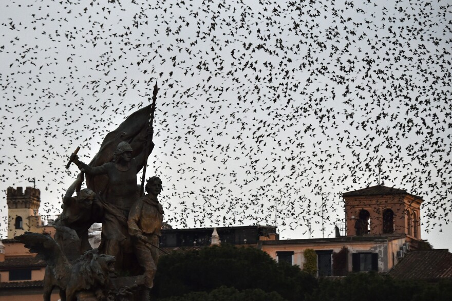 Starlings migrating in huge numbers come to roost this time of year in Rome. In the past, the city used special speakers that emit sounds of predators and starling distress calls to make the birds fly elsewhere. This year, falcons have been enlisted to drive the starlings out — without success.