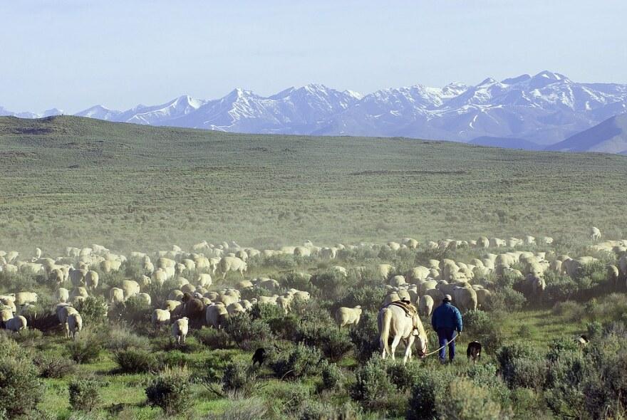 Sheep move through public lands near Shoshone, Idaho.