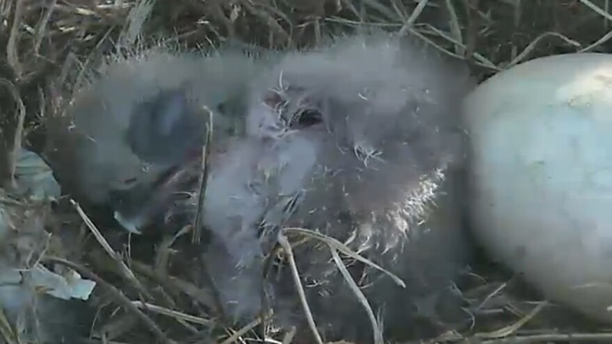 About an hour after emerging from its shell, the baby bald eagle was seen snoozing next to the second egg inside a nest at Washington D.C.'s National Arboretum.