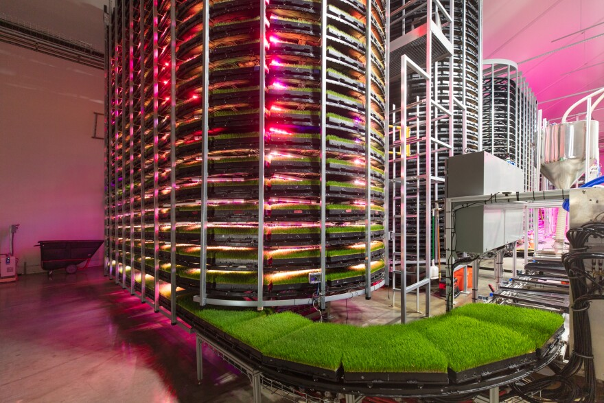 Several towers holding racks of grass stand inside a warehouse, illuminated by pink light.