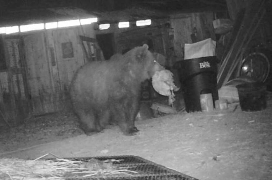 A subadult male grizzly bear was euthanized after it repeatedly broke into a chicken coop and killed several chickens off Farm to Market Road between Kalispell and Whitefish, August 21, 2019.