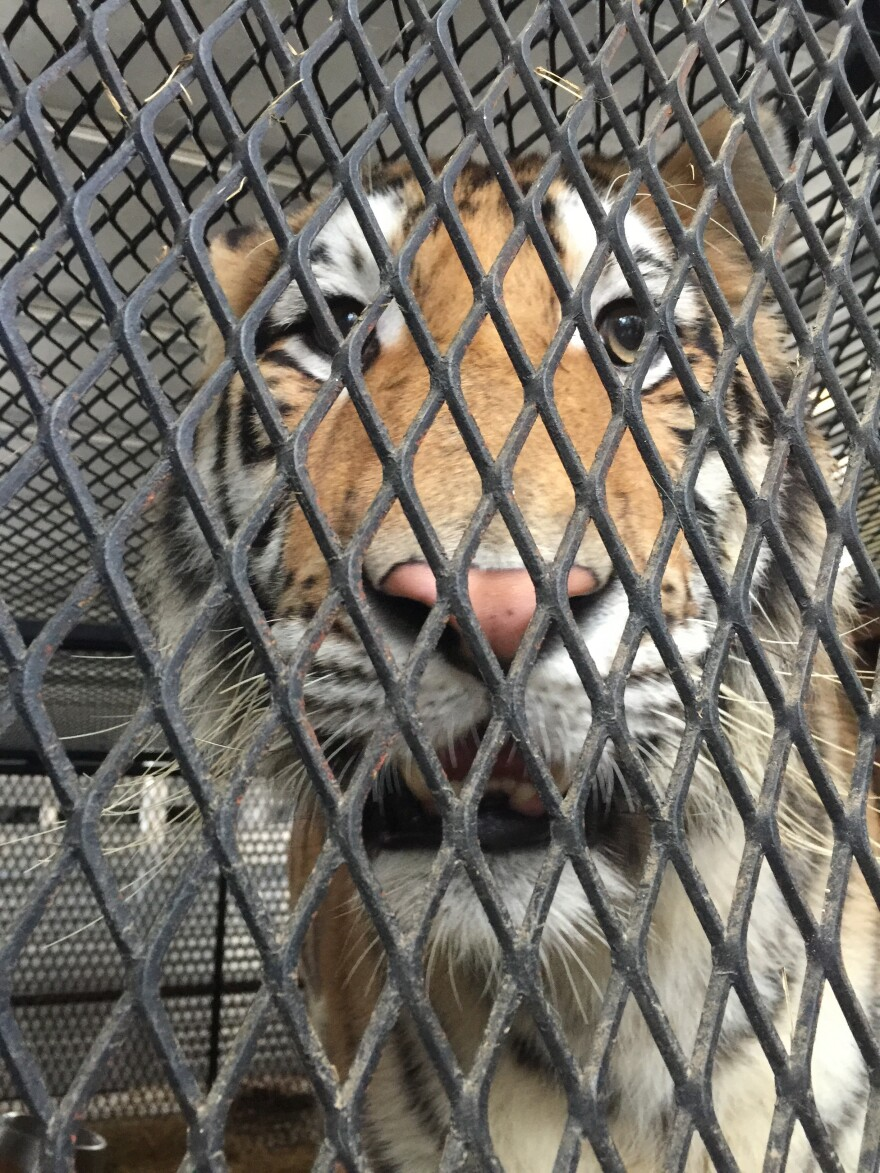 A tiger discovered in what was thought to be an abandoned Houston home was rescued by the city's animal shelter, after an intruder called authorities.