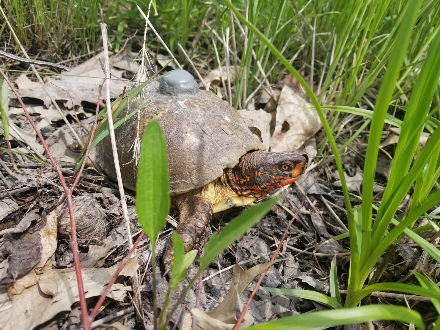 A box turtle with a tracking device.