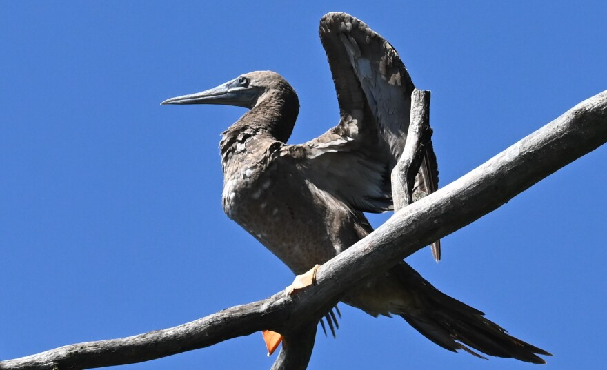 photo of a rare tropical bird known as brown booby at Nimisila Reservoir