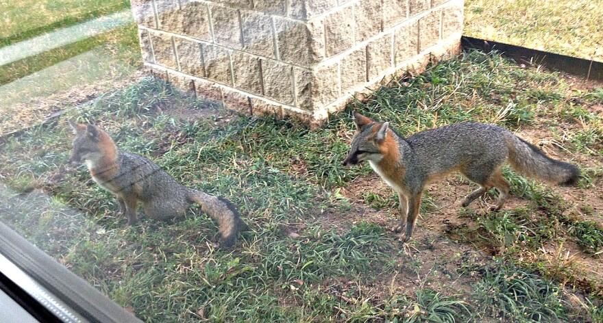 foxes_2-2014-3.jpg