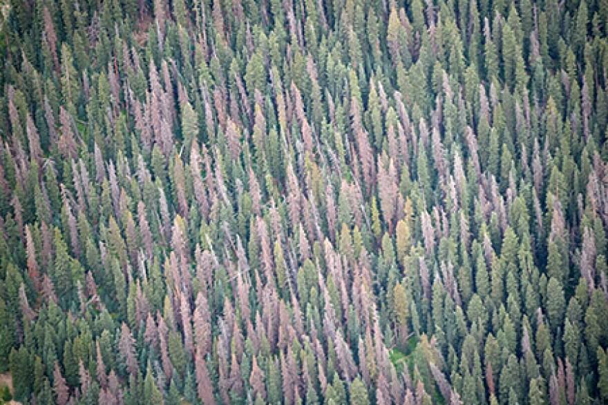 SpruceBeetle_SJNF-reduced-DanWest-450w.jpg