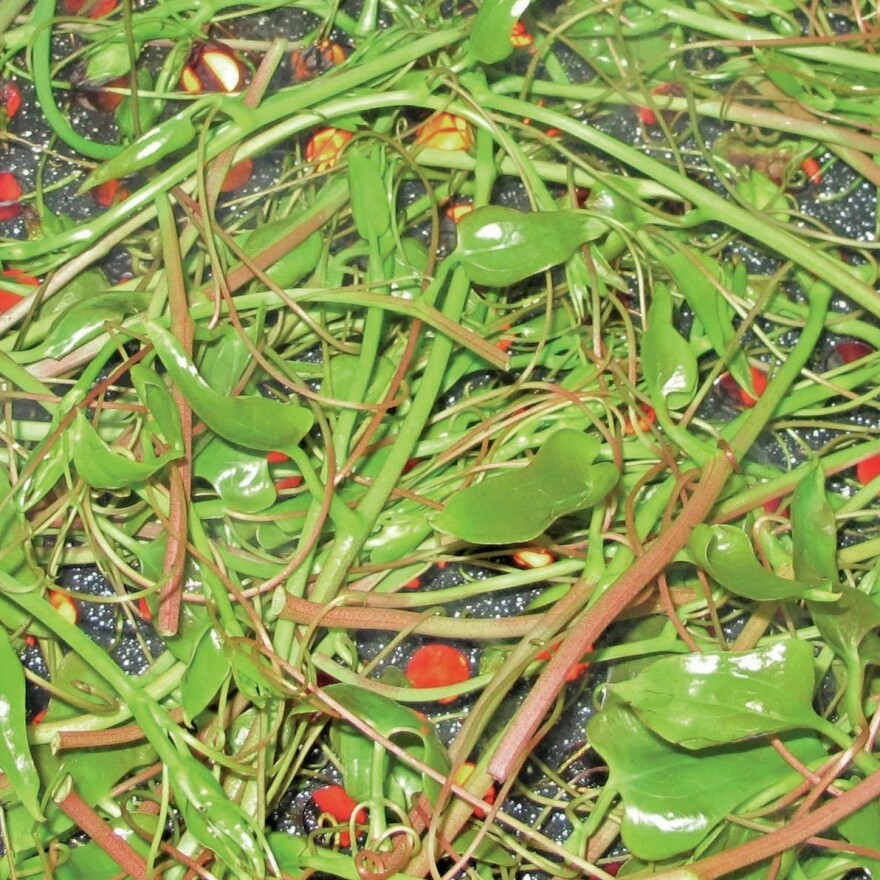 Chainey briar grows wild around Charleston, S.C.