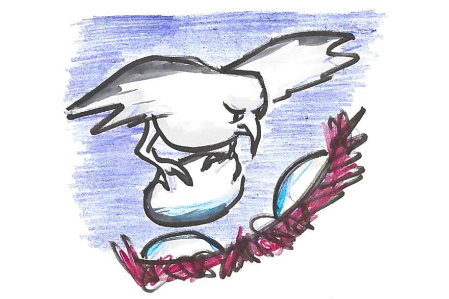 Horsefield bronze-cuckoo dropping her egg into a wren nest.