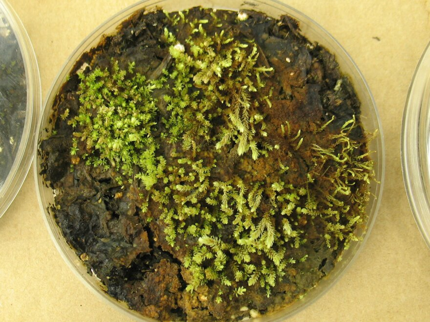 In the lab, scientists grew cultures of some of the plants found beneath the receding Teardrop Glacier. These are <em>Aulacomnium turgidum</em>, a relative of moss.