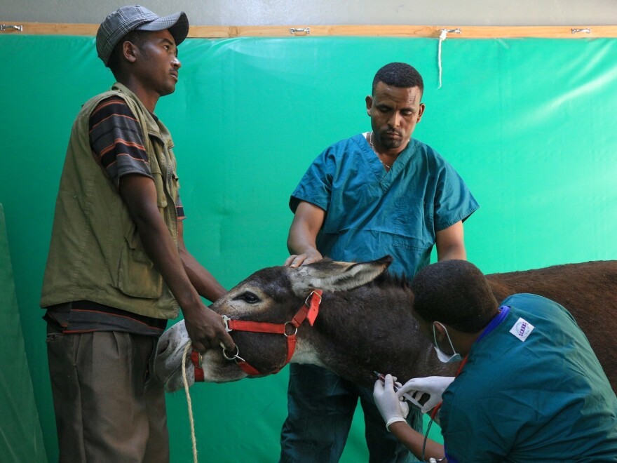Veterinarians treat a patient at a donkey clinic in Addis Ababa, Ethiopia.